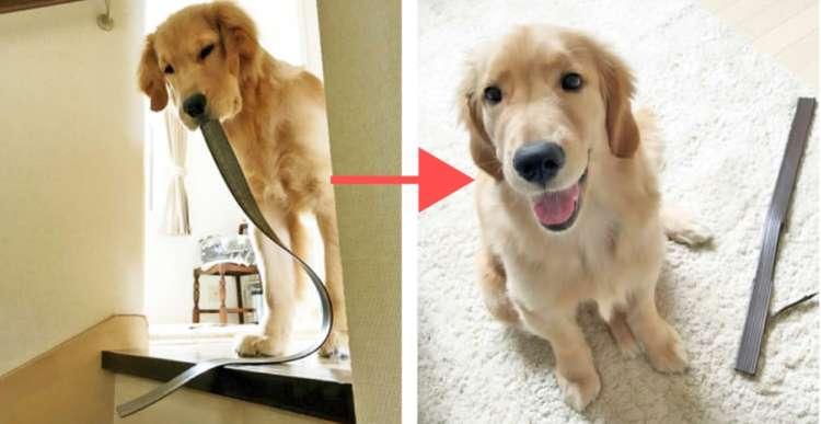 【匠の仕事】階段の滑り止めを次々に剥がしていくワンコ! →  叱れなくなる満面の笑みに…困った(笑)
