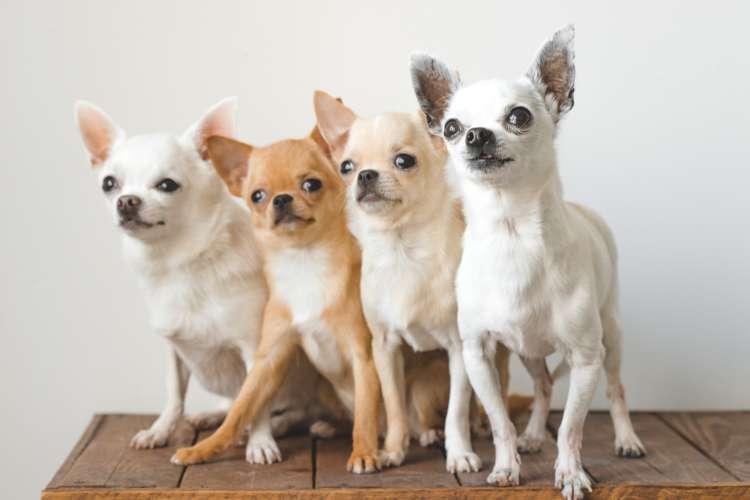 【獣医師監修】チワワの仔犬。成長が止まる時期と食事の変化