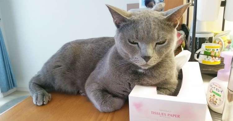 【枕みつけたニャ】構ってほしくて、ティッシュ箱を占領するネコ → でもこの後、まさかの展開に(笑)