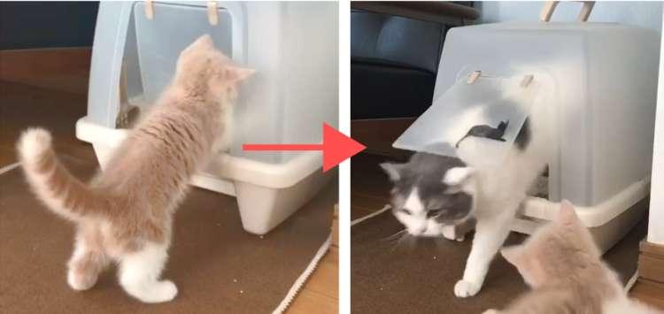 【先輩猫と一緒がいい♡】トイレの中にまで先輩についていく子猫が可愛すぎた…(´;ω;`)