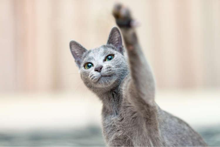 【獣医師監修】ロシアンブルーと長く暮らすために気をつけたい病気やご飯選び