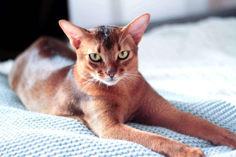 アビシニアンってどんな猫? 歴史やカラダの特徴について