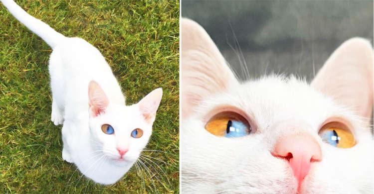 【瞳の中に2色の光!?】太陽と海を閉じ込めたような瞳を持つネコちゃんに惹き込まれる人続出♡