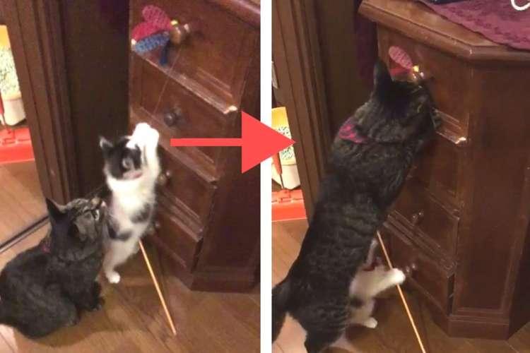 【取ってあげる!】必死にオモチャに手を伸ばす子猫 → 先輩猫のとった『優しすぎる行動』とは?