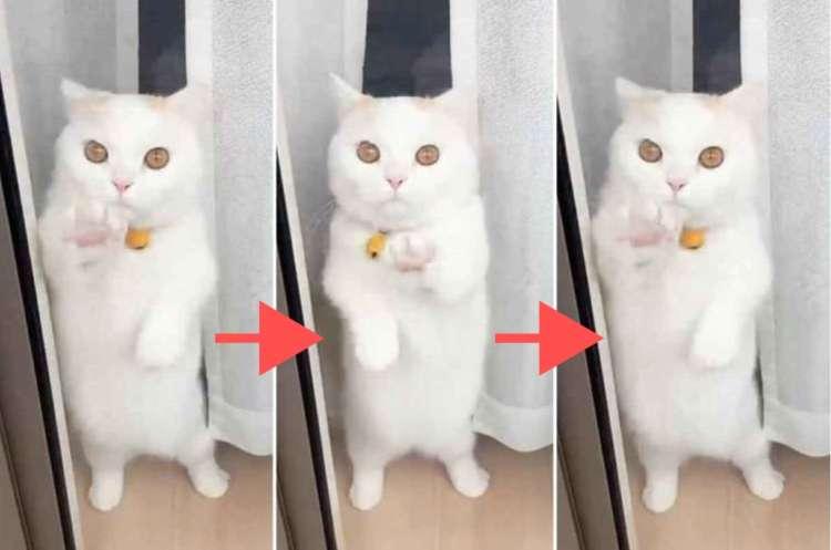 白猫マンチカンのブギウギダンスがヤバかわだった! → ぽってりお腹がゆらゆら…中毒性高めでした♪
