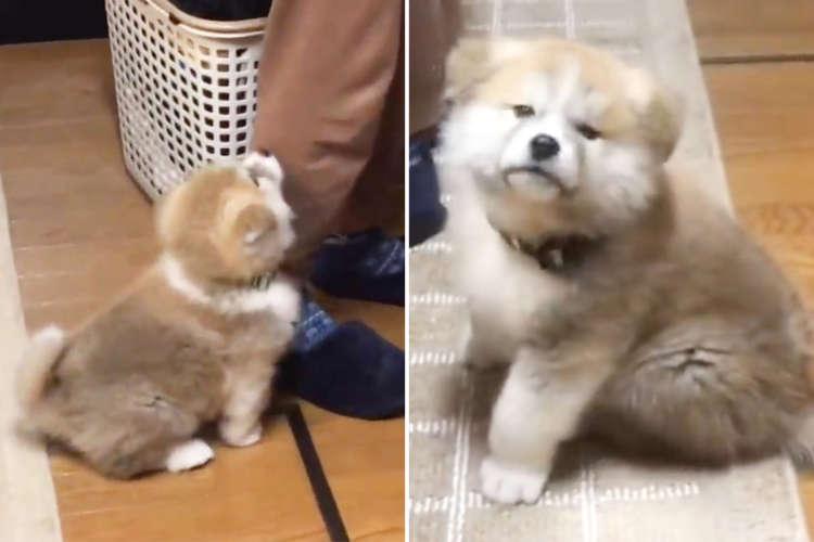 ちょこんと座りご飯ができるのを待つ秋田犬。コロコロ・モフモフの綿毛が足元を動き回る♪