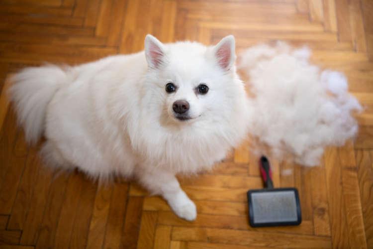 【獣医師監修】ポメラニアンの被毛の特徴と抜け毛について