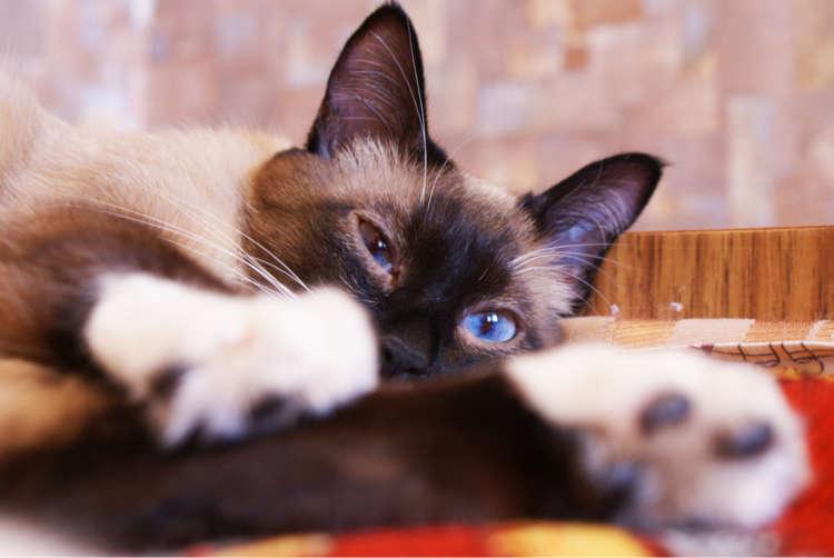 【獣医師監修】スノーシューの特徴や性格、飼い方について