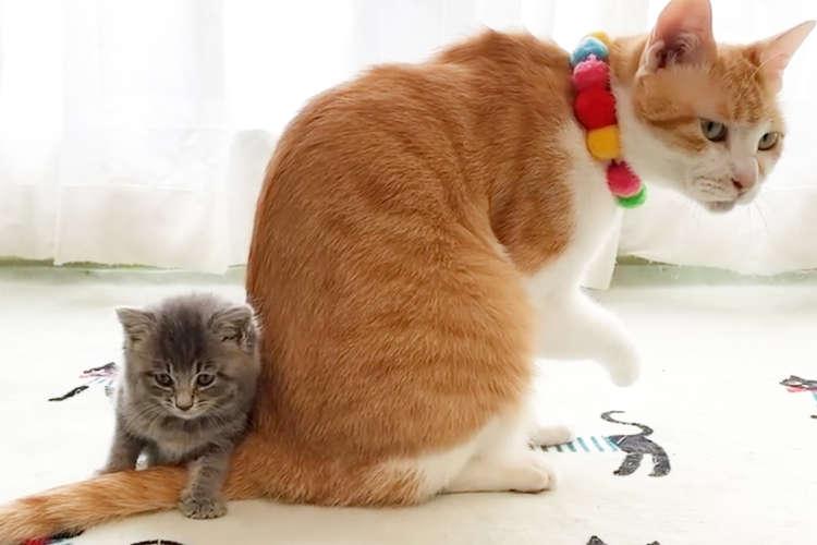 【お兄ちゃんニャンコに密着する保護猫の子ネコ】ちんまり落ち着いた場所はモフモフ尻尾の上でした♡