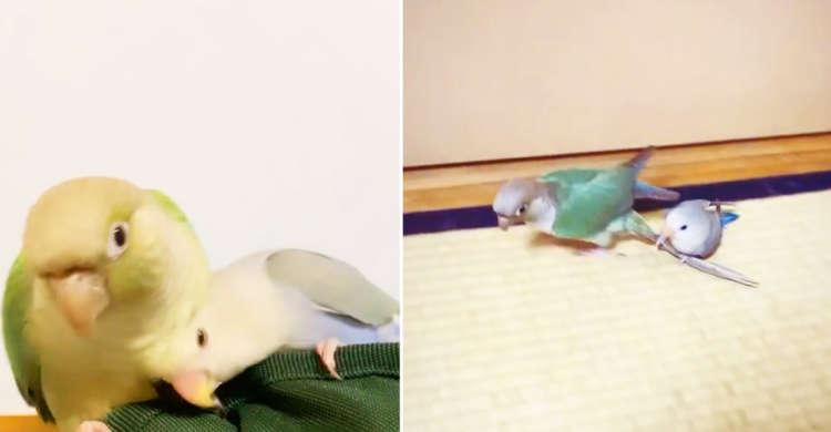 【かわいすぎるタクシーを発見!?】 小さな小鳥さんが尻尾に相方を乗せて部屋中を高速ドライブ♡