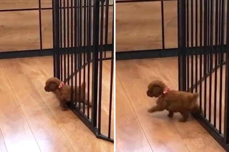 【忍法すり抜けの術!】愛犬のために高級フェンスを購入 → いとも簡単にすり抜けちゃった(´艸`*)