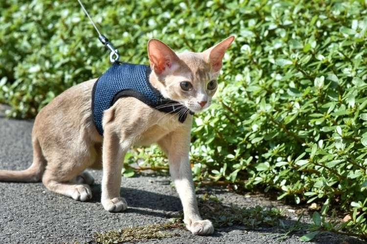 【獣医師監修】猫に散歩は必要? ハーネスに慣れさせるメリットや装着を嫌がる場合の対処法