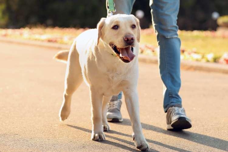 【獣医師監修】ラブラドール・レトリーバーの性格や飼い方、しつけについて知って、もっと仲良くなろう