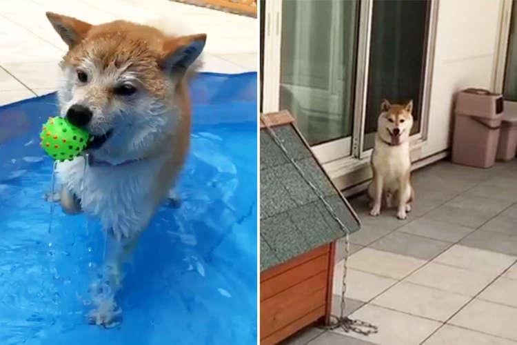 【プールへの興味の差】水遊びが大好きなワンコと興味のないワンコ。2匹の温度差が激しすぎた( ゚Д゚)