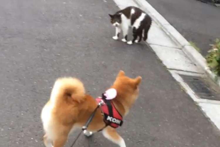 【圧倒的敗北っ…!!】散歩中にニャンコと出会い、仲良くなろうとする柴犬♪ ところが…(;´-ω-`)