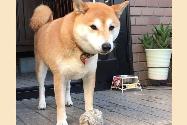 【投げたふりした…?】ボール遊び中に、柴犬が視線で訴えかけてきた内容とは(*´o`*)