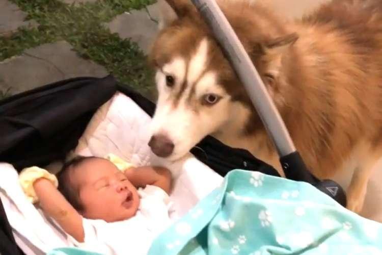 人間の兄弟ができたハスキー犬。その溺愛っぷりは、まるで本当のお兄ちゃんだった…(*´﹃`*)♡