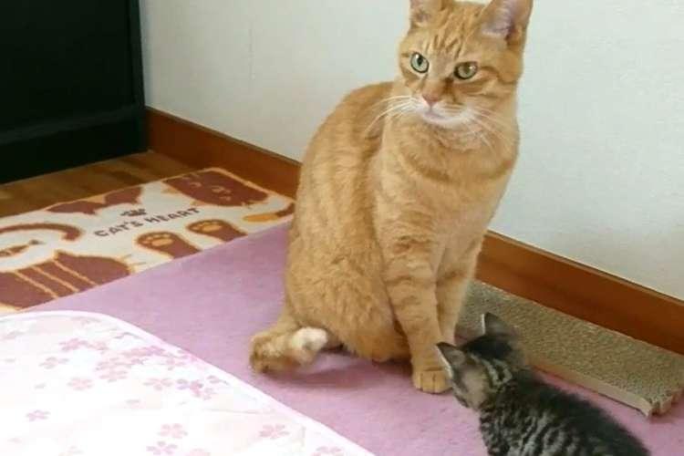 【まるでコント】尻尾をペシペシ動かして、子猫を誘う先輩ネコ → この後まさかのドンデン返しが…(笑)