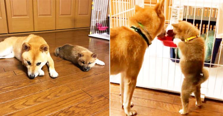 【真似っこ盛りの子柴犬】 大人の飲み方に憧れて、うんと背伸びをしながらプルプルと給水♡