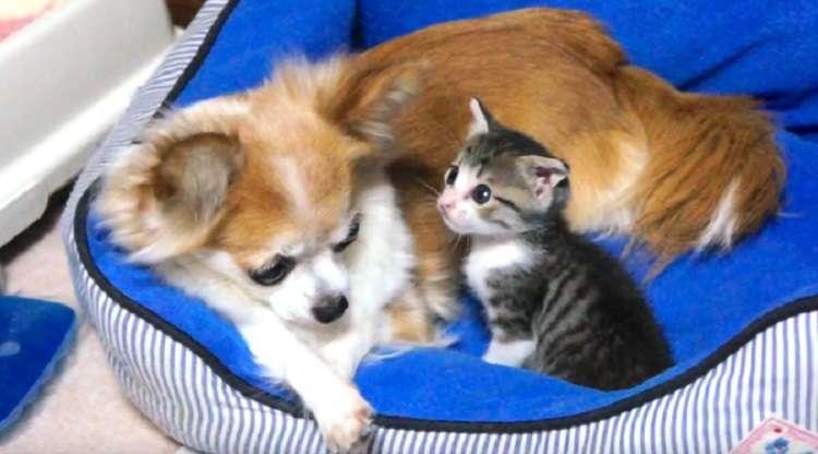 チワワのベッドで、添い寝を求める子猫ちゃん。体をすり寄せていく時の安心しきった表情が…♡
