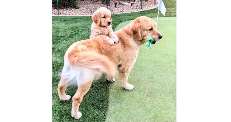 兄ワンコのことが大好きな子犬! 兄の背中を追う姿にほっこりする成長記♡