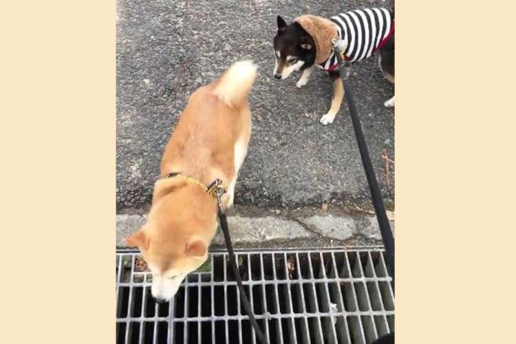 【大丈夫だよ!】 排水溝の前で動けない黒柴に、渡り方を教える姉ワンコ。その優しさにキュン♡