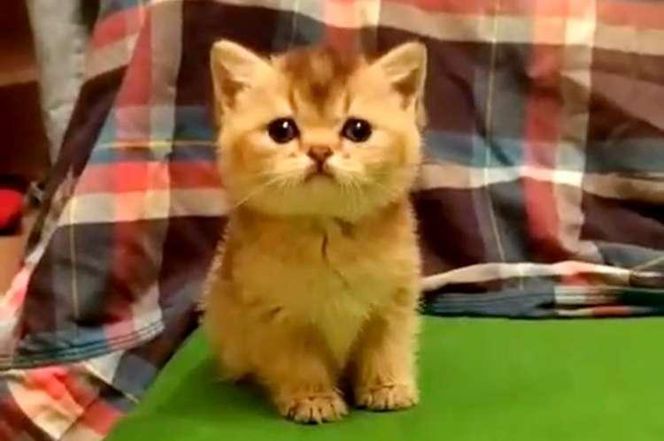 【覚悟の表情】猫じゃらしを前に、やる気十分な子猫さん。しかし実際にやってみたら…(艸д゚*)♡