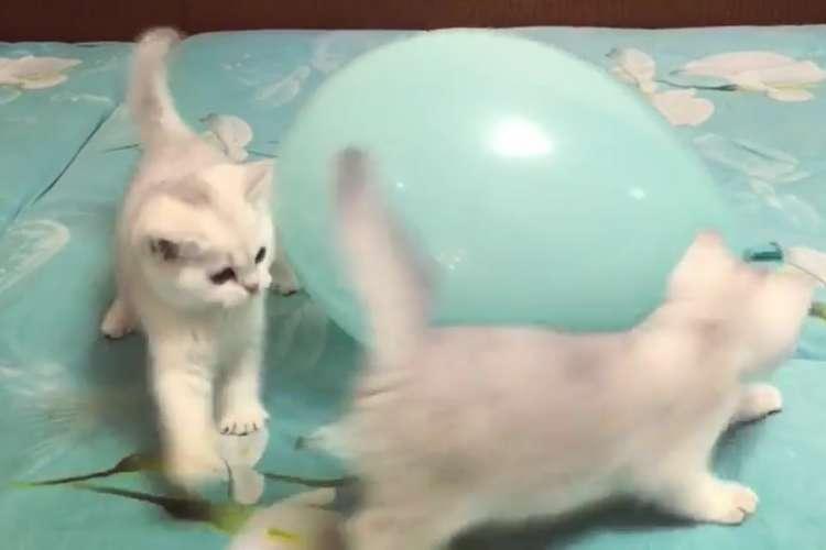 子猫ちゃんたちの元へ、丸っこい新入りがやって来た! 楽しい「ドタバタ対面式」が始まる♪(32秒)