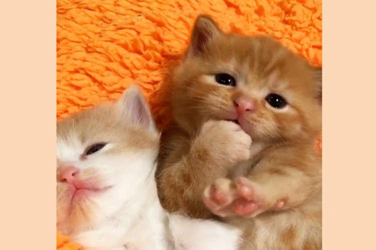 【就寝前の儀式】おもむろに肉球をハムハムしだす子猫ちゃん。その仕草に…キュンせずにはいられない♡