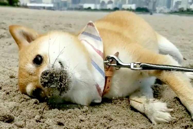 砂浜でテンションマックスな柴犬ちゃん。楽しげな姿が… こっちが元気になるほどパワフルだった♡