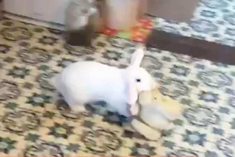 【まるでワンコ】おもちゃをGetしたうさぎさん! 見たことがないような喜び方をしちゃう(・x・*)♪