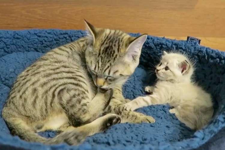 毛づくろいに夢中なお兄ちゃんに、何度も『遊ぼう』アピールする弟ネコ。その健気な様子に…きゅん♡