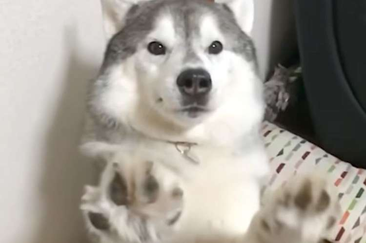 【まさかの両手】ワンコに『お手』をお願いしたら → かわいすぎる反応が、返ってきました(*´ω`*)