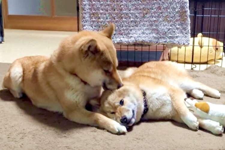 【大きな赤ちゃん♡】ベッタリな娘を甘やかす、柴犬ママの姿に胸がほっこりする(*´艸`*)♡