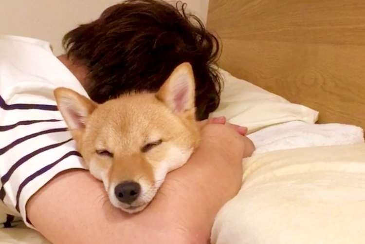 【最高の寝落ち!?】 飼い主さんと一緒にウトウトしちゃった柴犬ちゃん。パパの腕が暖かすぎて…♡