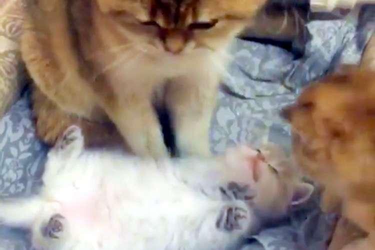 【なにがあっても動かないにゃ】親猫の足元でヘソ天でくつろぐ子猫♡ 他の子がちょっかい出してきても…