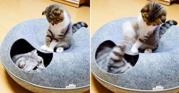 """""""中に入りたい猫"""" と """"独り占めしたい猫"""" のクッション争奪戦勃発!? 勝つのはどっち♪"""