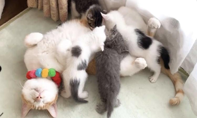 【お母さんになったオス猫】ミルクを求めてオス猫のお腹に子猫が大集合! まんざらでもないニャンコは♡