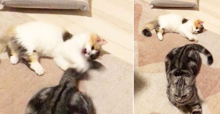 """もふもふ猫じゃらしの正体は """"お兄ちゃんの尻尾"""" だった!? おてんば妹が可愛くじゃれちゃう♪"""