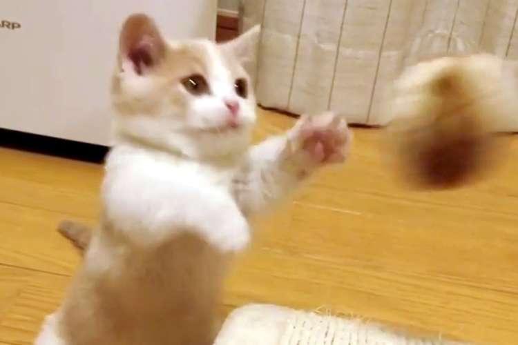 まるで拳法のように手をペシペシ! 一生懸命に、短い手を何度もオモチャへ伸ばす子猫さん(*´∀`*)♡