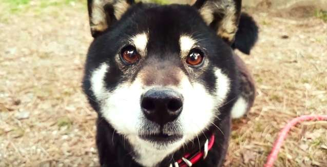 飼い主さんが少しでも離れると → 『待ってワン!』 トコトコついてくる柴犬に、キュンとしちゃう♡