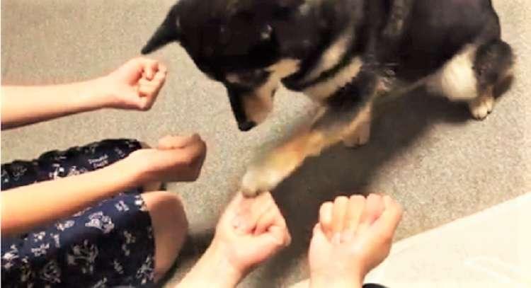 おやつが、なかなか見つからない → この後、柴犬の見つけた『正解』がかわいすぎた(*´艸`*)!