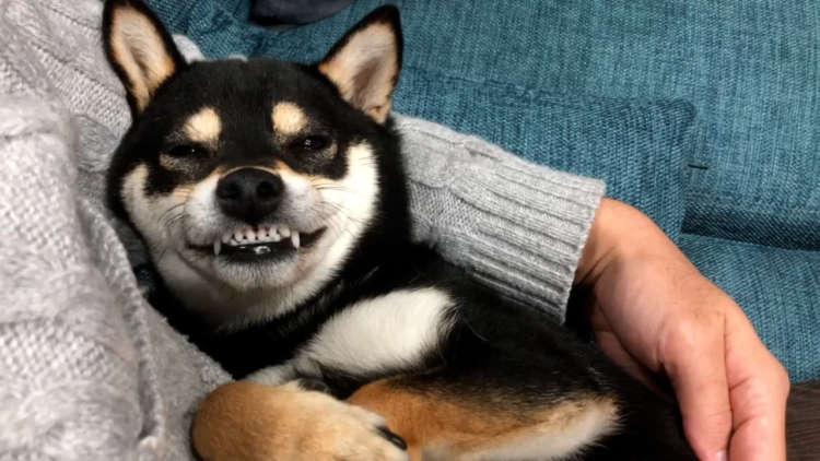 怒っていたら、歯をしまい忘れてしまったワンコさん。そのままムキムキ顔で〇〇しちゃう(*´Д`)