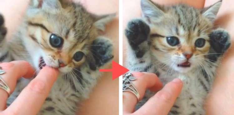 ママの指をパクッとした子猫 → その味に戸惑う様子が、衝撃的なかわいさだった(*´艸`*)♡