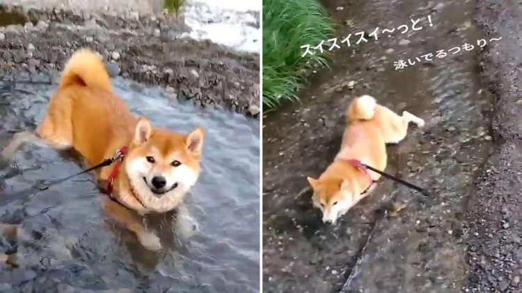 水溜りで露天風呂気分!?お水遊びが大好きな柴犬さん。豪快な水遊びと見事な泳ぎで笑いを誘う(´艸`*)