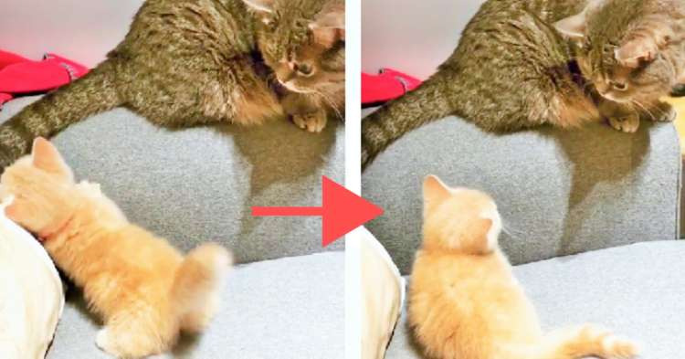 先輩猫のしっぽに飛びついたら… ばっちり見られた!→ このあと子猫がとった行動が、とっても賢かった♡