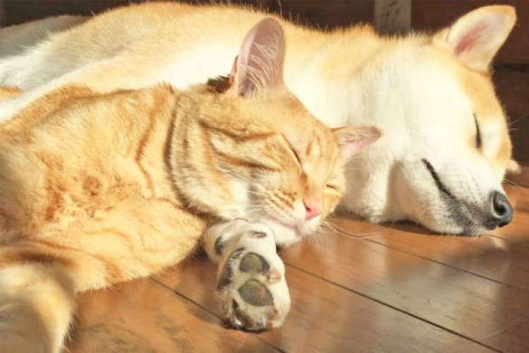 【仲良しワンニャン兄弟】お兄ちゃん柴犬の腕枕でスヤスヤ♡ 密着して眠る2匹に…ほっこり(*´ω`*)