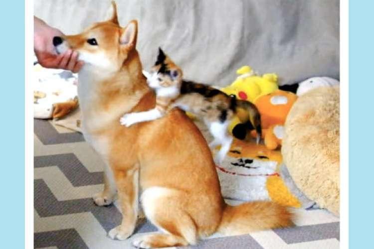 【私もまぜてニャー!】なでられている柴犬を見て火がついちゃった♡ 『構ってちゃん』な子猫にキュン♪