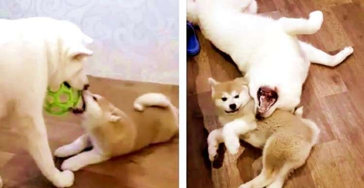 【大人の階段のぼる。】わちゃわちゃ遊ぶ2匹の秋田犬 →子犬が、なにかを学んだ瞬間に、ほっこり♡ 笑