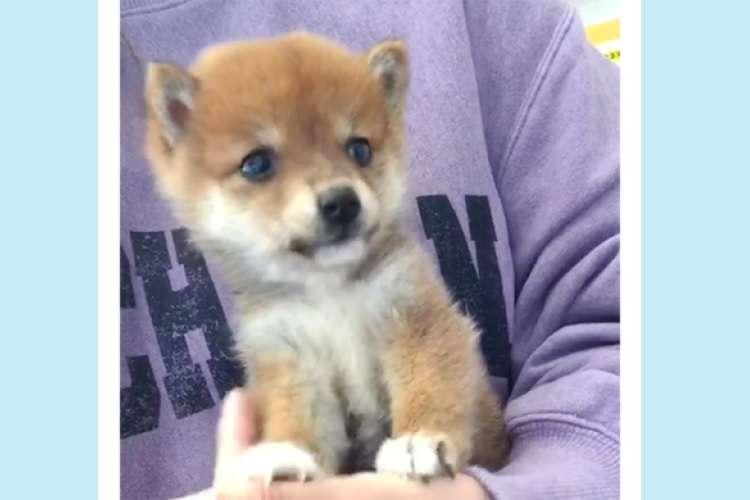 小さな柴犬ちゃんは、まだまだママから離れられない甘えん坊。羨ましいくらいのベッタリ姿に…♡